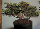Satsuki Azalea Hakuho Bonsai Rare Snow White Color