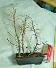 American Larch Tamarack Bonsai 3 Tree Forest 14 Tall 8 Pot Good Low Branching
