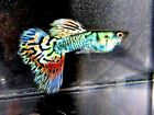 Nebula Steel Guppy 2 Young Pairs Metallic Rainbow of Colors