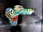 Nebula Steel Guppy 6 Babies Metallic Rainbow of Colors