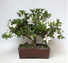 BONSAI AZALEA 29 YEAR OLD WITH POT INCLUDED