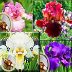"Iris - Tall White Yellow Bearded Iris 2"" to 3"" Perennials Plant Bulb"