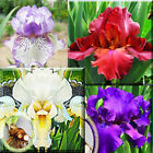 "Iris - Tall Bearded His Royal Highness Iris 2"" to 3"" Perennials Plant Bulb"