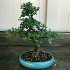 Chinese Elm Kifu Bonsai Tree Ulmus parvifolia  2021