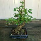 Chinese Privet Mame Shohin Bonsai Tree Ligustrum Sinense  2019