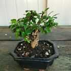 Chinese Fukien Tea Mame Shohin Bonsai Tree Carmona Microphylla  2026