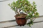 10 Year Old Mistletoe Fig Cascade Specimen Bonsai Tree