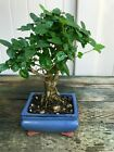 Chinese Privet Mame Shohin Bonsai Tree Ligustrum Sinense  2934