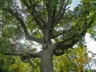 10 BUR OAK TREES 8 12 TALL