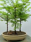 3 Tree Redwood Forest Bonsai Tree