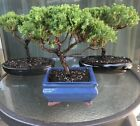 Japanese Juniper Bonsai Tree 8 Year Old Real Tree Indoor Outdoor Plant