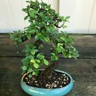 Chinese Elm Kifu Bonsai Tree Ulmus parvifolia  2018