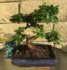 Fujian Fukien Tea Blooming Bonsai Tree S Curved Trunk Indoor Outdoor