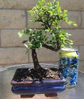 Chinese Elm Bonsai Tree Curved Trunk 8 Years Old Feng Shui Indoor Outdoor