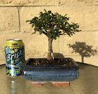 Chinese Elm Bonsai Tree Straight Trunk 8 Years Old Feng Shui Indoor Outdoor