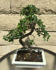 Large 12 Year Chinese Elm Bonsai Tree Curved Thick And Hardy Trunk