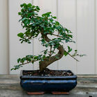 Chinese Privet Shohin Bonsai Tree Ligustrum Sinense  6647