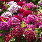 200 DIANTHUS FLOWER SEEDS SWEET WILLIAM MIX colors organic +gift