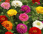 CALIFORNIA GIANT ZINNIA FLOWER SEEDS 100+ MIXED COLORS ANNUAL Free Shipping