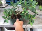 Green Island Ficus Pre Bonsai In 8 Inches Pot 3
