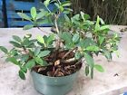 Green Island Ficus Pre Bonsai In 8 Inches Pot 4