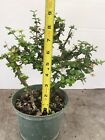 Singapore Holly Pre Bonsai In 8 Inches Training Pot 2
