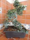 40cm Small Leaf Chinese Elm Bonsai Tree