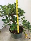 Green Island Ficus Pre Bonsai In 8 Inches Training Pot 3