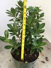 Green Island Ficus Pre Bonsai In 8 Inches Training Pot 4