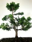 Dwarf Hinoki Cypress Pre Bonsai Tree 14 18 Nice Trunk And Movement