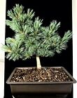Japanese White Pine Bonsai Tree 14 11 Years Old