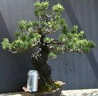 Bonsai tree Japanese 5 needle white pine