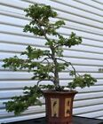 bonsai tree Hinoki Cypress