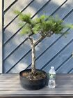 European Larch Bonsai Tree
