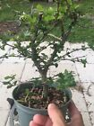 Singapore Holly Pre Bonsai In 8 Inches Training Pot 1