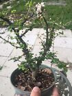 Singapore Holly Pre Bonsai In 8 Inches Training Pot 4