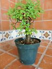 15cm Small Leaf Chinese Elm Pre Bonsai Tree