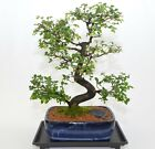 Indoor Bonsai Chinese Elm 20 years old S trunk style