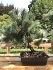 Japanese White Pine Bonsai Tree 14 Year Nice Trunk And Movement
