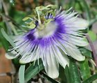 Passiflora cyanea white and royal blue passion flower vine PLANT free shipping