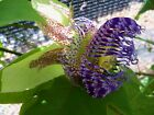 Passiflora Party Time 2 our hybrid self fertile passion fruit PLANT free ship