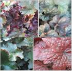 CORAL BELLS COLLECTION * Heuchera * MIXED * SHADE TOLERANT FOLIAGE PLANT * SEEDS
