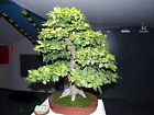 European Hornbeam Carpinus betulus Tree Seeds Fall Color Bonsai Topiary