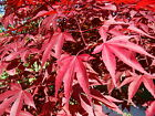 Red Japanese Maple Acer palmatum atropurpureum Tree Seeds Fall Color Bonsai