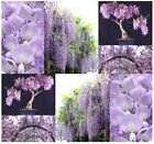 Chinese Blue Purple Wisteria Wisteria Sinensis Seeds Bonsai Tree Seed Z 3 9
