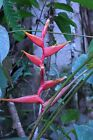 Heliconia Spathocircinata Pink Red Yellow Rare Tropical Plant Seeds 5