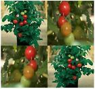 PATIO Tomato - seed ~ For  CONTAINERS  &  SMALL SPACES - VERY COMPACT -  70 Days