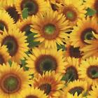 PACKED SUNFLOWERS FLORAL Cotton Fabric BTY for Quilting Craft Etc