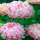 Aster Paeony Duchess Apricot 50 seeds   50 off sale