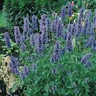 Catmint Blue 200 Seeds 50  off sale